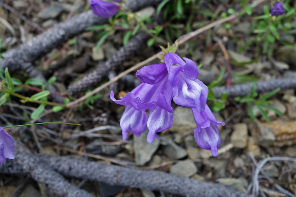 Wild Flower Along Firelookout Trail West Pavilion