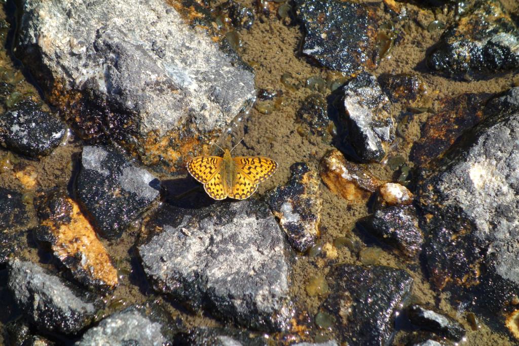 Butterflies Near Blowdown Lake